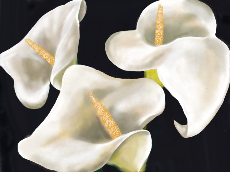 Calla Lilies,  done on SketchbookPro